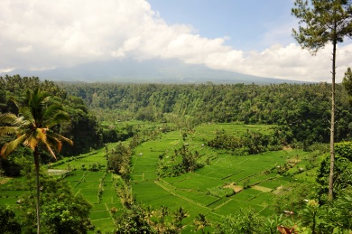 Fields in Bali