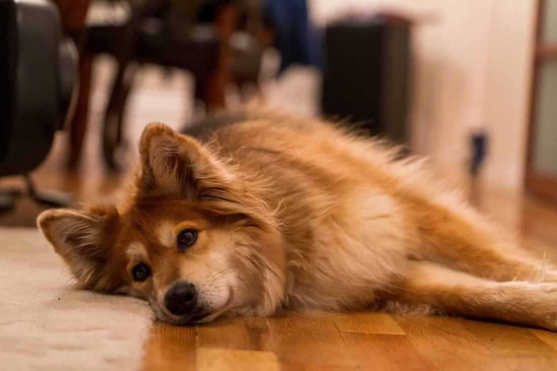 Jason's dog Tera lounging on the floor